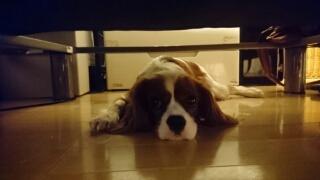 キャバリアがソファーの下に隠れる.jpg