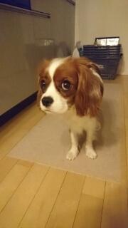 cavalier-dog-food.jpg