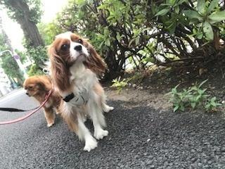 麻布ペットのペットホテルお散歩.jpg